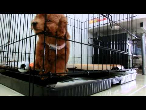 Amber Toy Poodle first time left alone