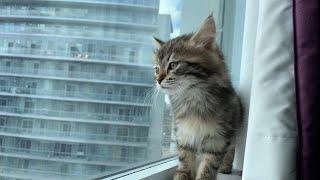 Siberian Kitten's first week home