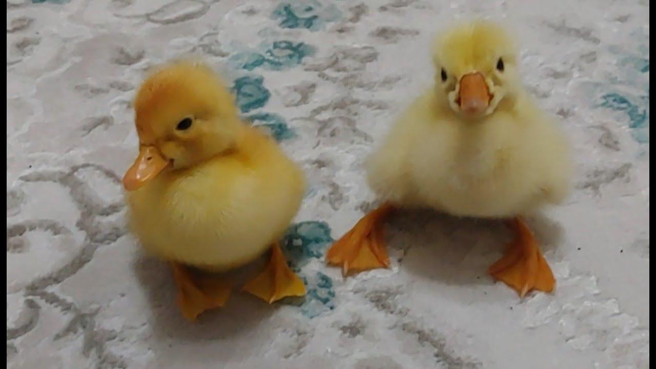 Kaz yavrusu vs ördek yavrusu. Hangisi yavru kaz hangisi ördek bil bakalım. Hangisi daha güzel oy ver