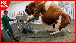 Amazing Modern Farming Cow Technology, Breeding Methods Save for Farm Thousands Dollar