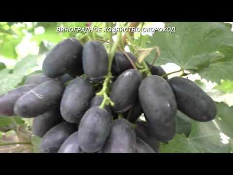 Сорта винограда 2020. Петр 1 - черный красавец раннего срока созревания