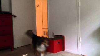 Laughing Baby And Sheltie Dog Chasing Each Other!