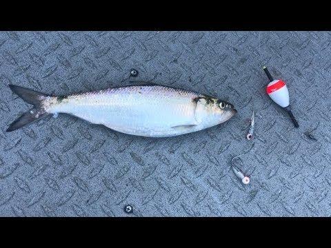 Best SKIPJACK HERRING Rig - Best Way To Catch Bait Fish