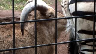 Barbary sheep playing with the tail of a zebra.シマウマの尻尾で遊ぶ...