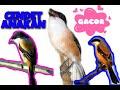 Burung Cendet Manja  Mp3 - Mp4 Download