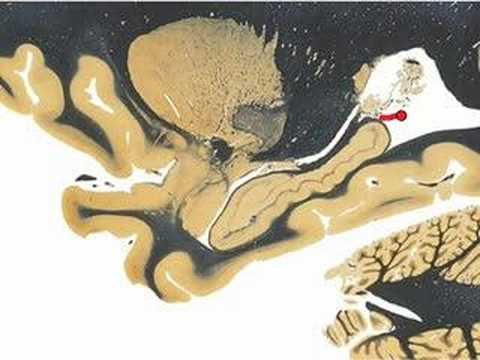 Neuroanatomy: Sagittal Slice @ Hippocampus