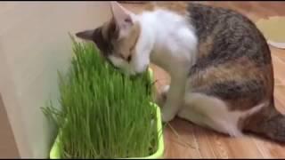 Cat eating wheatglass #1