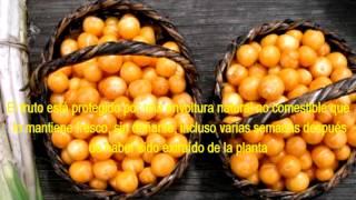 Aguaymanto fruto  andino nutritivo, manjar de los Incas