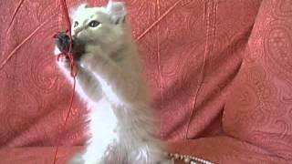 Кошечка породы американский керл Darsi Avantiurun