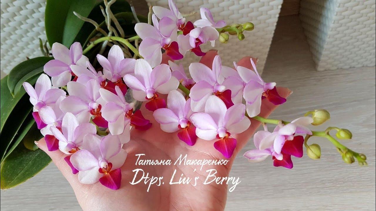 ОБИЛЬНОЕ ШИКАРНОЕ цветение моих ОРХИДЕИ про УДОБРЕНИЕ orchids орхидея orchid фаленопсис phalaenopsis