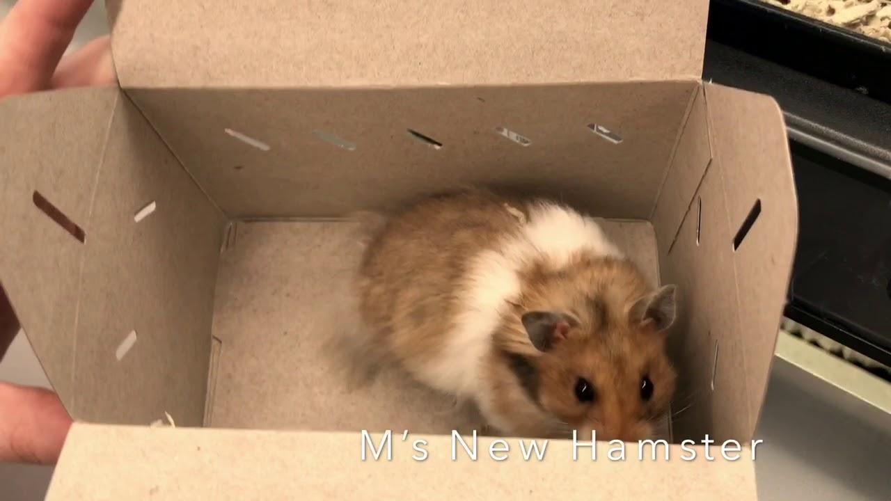 Long Haired Hamster Petsmart 16