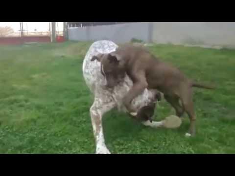 Pitbull dog games online
