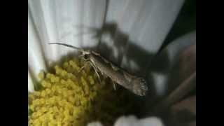 Falena che succhia il nettare dei fiori di una Margherita - Moth eating in a Daisy