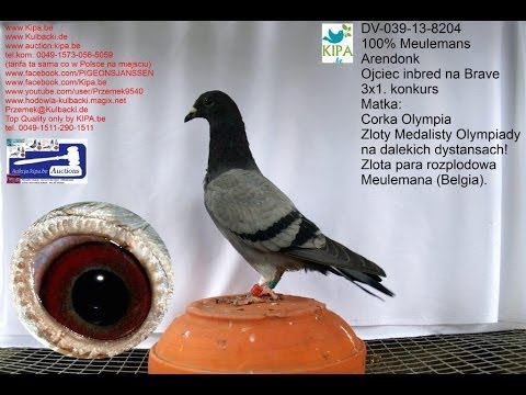 Pigeon DV-039-13-8204 Barcelona 100% Meulemans Arendonk www.auction.kipa.be