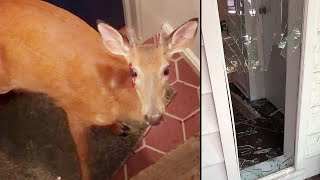 Deer Breaks Into New Jersey Home