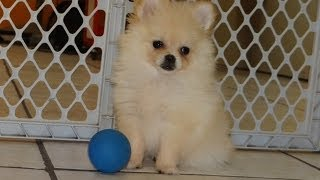Pomeranian, Puppies For Sale, In, Lubbock, Texas, Tx, Waco, County, Garland, Irving