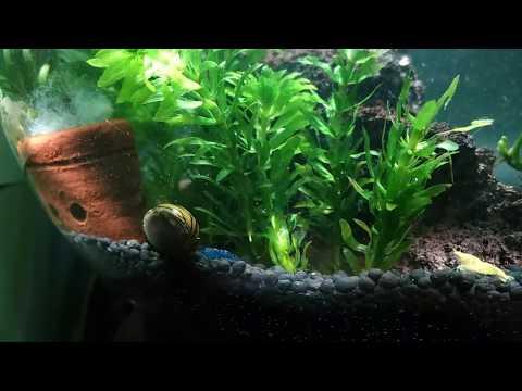 Update 1 week, Simple Bowl aquascape for beginner, No fert, No CO2, No filter, low maintenance