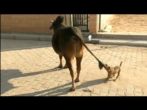 Funny Cute Dog and Cow are best friends   Funny Cow and Dog Fight playing