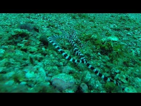 Wonderpus in Lembeh Strait - HD
