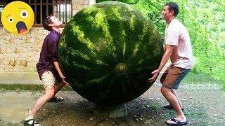 1 Yıllık KARPUZ  Dünyanın En Büyük Meyve Ve Sebzeleri.