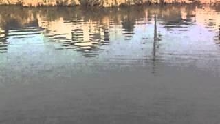 益田川に鯉が泳いでいた