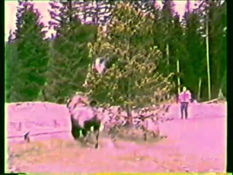 Bison Goring in Yellowstone