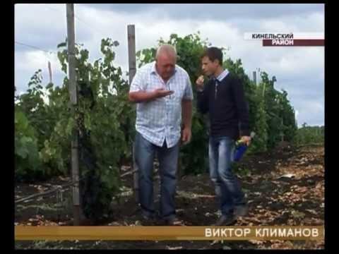 В Самарской области созрел необычный виноград