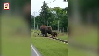 Ibu Gajah Selamatkan Anak Terperangkap