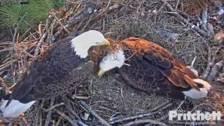 SW FL Eagles - It s eaglet time!! Welcome E9 - 12-31-16