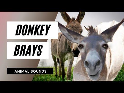 The Animal Sounds: Donkey Brays - Sound Effect - Animation