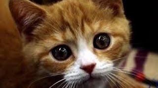 Видео про смешного кота который ест вилкой и гуляет на поводке как собака