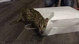 Игры леопардовой кошки Мишки