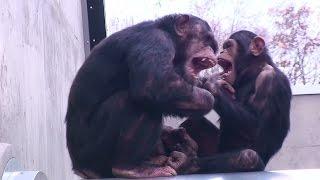 旭山動物園、ちんぱんじーの森。コースケ(♂、旭山zoo生、6歳)が、シン...