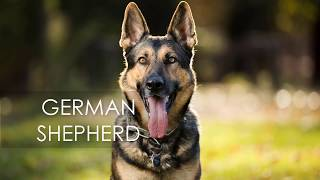 German Shepherd Price in India and Nepal With Facts