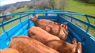 mise a l'herbe des vaches 2016