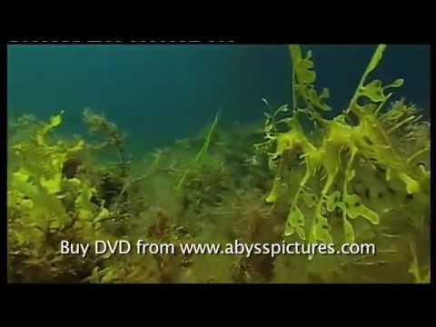 Большой Морской Дракон  (лат. Phycodurus eques)-Документальный фильм