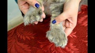 Каспер - омский кот-полидакт со странными лапами