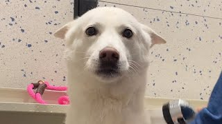 놀러와서 목욕하고 속상한 강아지 ㅠㅠ ㅣ 진돗개