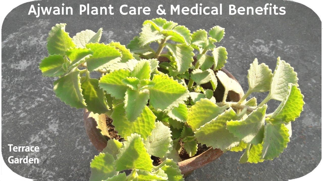 how to grow ajwain plant