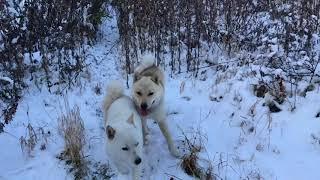 2017.11.20 私のよく行く山で北海道犬と 熊の足跡を探すも.
