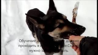"""Дрессировка собаки.Обучение команде """"апорт"""""""
