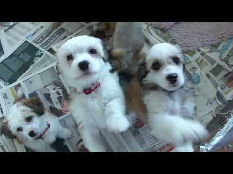 Chinese Crested hairless and powder puff puppies