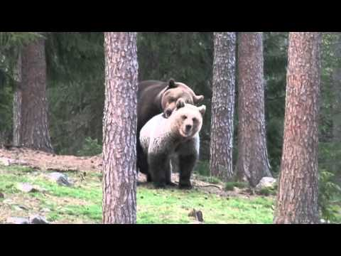 Brown bears mating