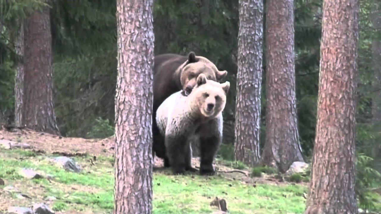 Хуй у медведя