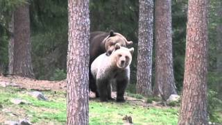 Brown bears mating in Finland, spring 2009