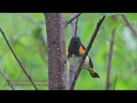 American Redstart in Maine
