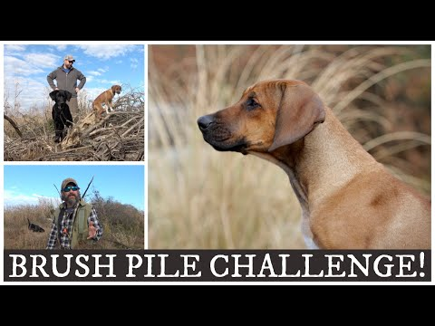 Rhodesian Ridgeback Owner Takes The Brush Pile Challenge!