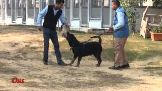 Rottweiler Guard Dog Training