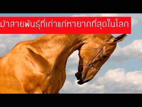 ม้าสายพันธุ์ที่เก่าแก่และหายากที่สุดในโลก l เสริฟความรู้
