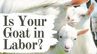 11 GOAT LABOR SIGNS YOU NEED TO KNOW! | Goat Pregnancy | Kidding Season | Stages of Goat Labor